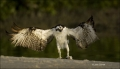 Florida;Osprey;Prey;Pandion-haliaetus;feeding-behavior;one-animal;close_up;color